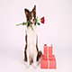 Border Collie Dog With Holiday Gifts - VideoHive Item for Sale