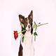 Portrait of Border Collie Dog With Red Rose in Her Mouth - VideoHive Item for Sale