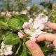 Of Female Hand Touches The Petals Of Blooming Apple Flower At Spring - VideoHive Item for Sale