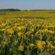 Camera Movement through Yellow Blooming Field of Millions Dandelion Flowers - VideoHive Item for Sale
