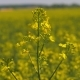 Yellow Flowers On The Blooming Field Of Rapeseed Or Canola - VideoHive Item for Sale