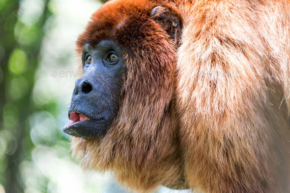 Red Howler Monkey Closeup - Stock Photo - Images