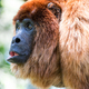 Red Howler Monkey Closeup - PhotoDune Item for Sale