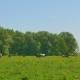 Cows Grazing on a Green Meadow - VideoHive Item for Sale