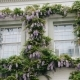 Wisteria Above Some Windows, Rainy London - VideoHive Item for Sale