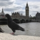 Pigeons on a Railing on a Embankment of the Big Ben Tower - VideoHive Item for Sale