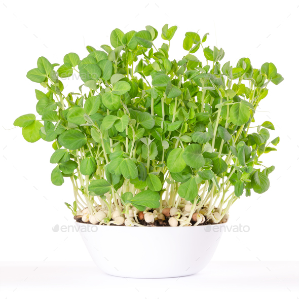 Snow pea microgreen in white bowl and potting compost - Stock Photo - Images