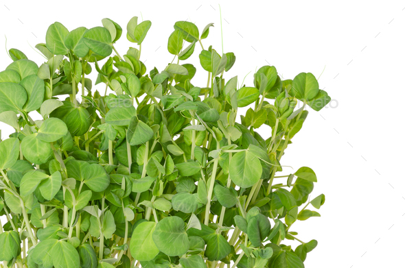 Snow pea microgreen on white background - Stock Photo - Images