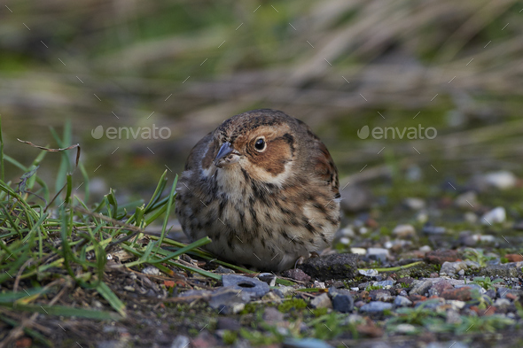 Little bunting (Emberiza pusilla) - Stock Photo - Images