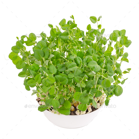 Snow pea microgreen in white bowl from above - Stock Photo - Images