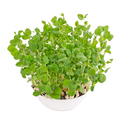 Snow pea microgreen in white bowl from above - PhotoDune Item for Sale
