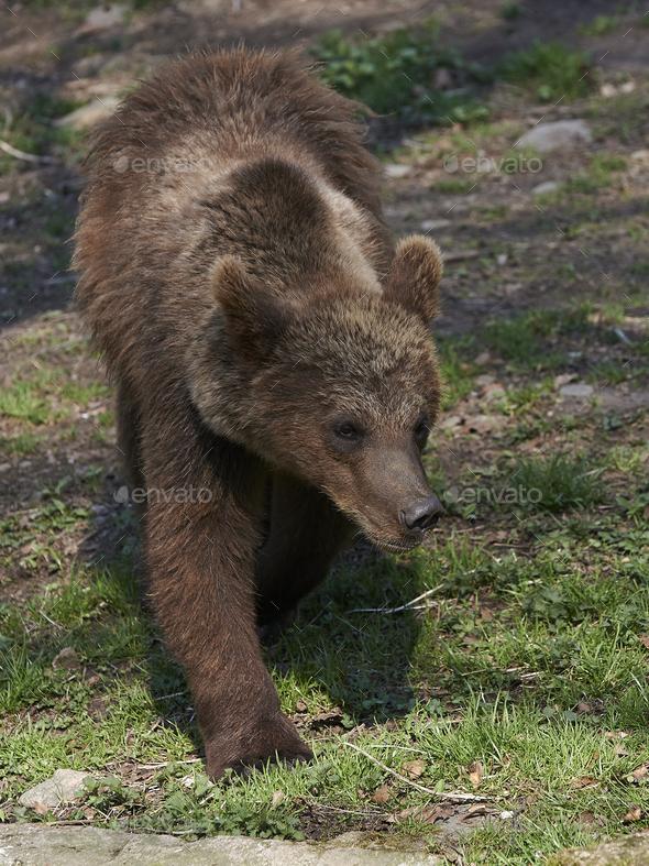 Brown bear (Ursus arctos) - Stock Photo - Images
