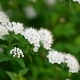 Sprig Bush with White Flowers in Spring - VideoHive Item for Sale