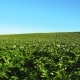 Blooming Potato Field with Plants Swaying in Wind - VideoHive Item for Sale