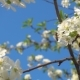 Bee Flying near White Blooming Cherry Flowers - VideoHive Item for Sale
