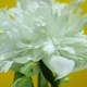 Beautiful White Flower Spinning on a Yellow Background - VideoHive Item for Sale