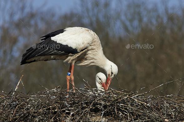 White stork (Ciconia ciconia) - Stock Photo - Images