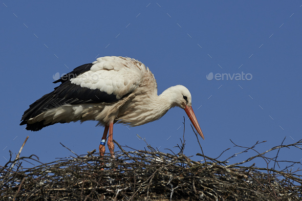 White stork (Ciconia ciconia) - Stock Photo - Images