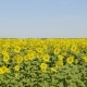 Field of Blossoming Sunflowers Against the Blue Sky - VideoHive Item for Sale