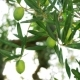 Green Olive Tree Against Sun Light - VideoHive Item for Sale