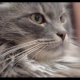 Fluffy Cat Relaxing with Stroking - VideoHive Item for Sale