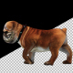 Bulldog Walk Side - VideoHive Item for Sale