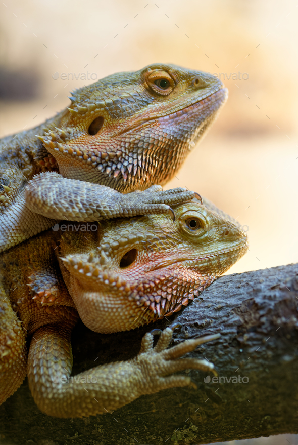 Couple of bearded dragons - Stock Photo - Images