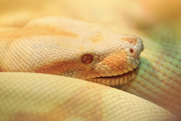 Albino Indian python - Stock Photo - Images