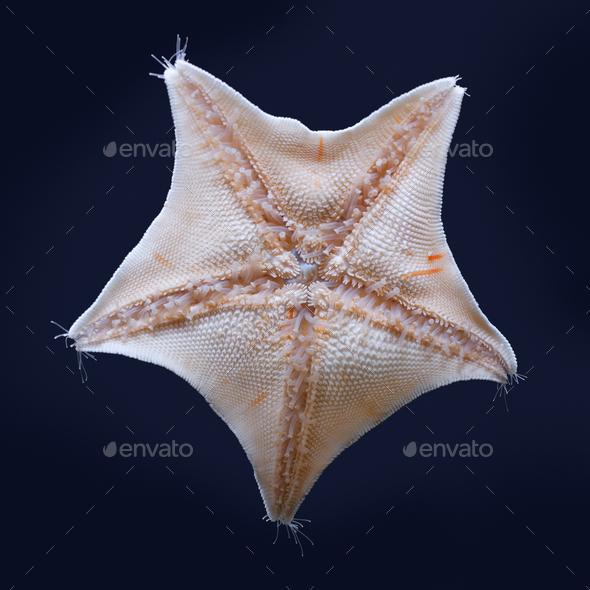 Blue bat star underside - Stock Photo - Images