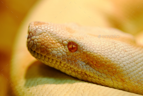 Albino Indian python - Stock Photo - Images