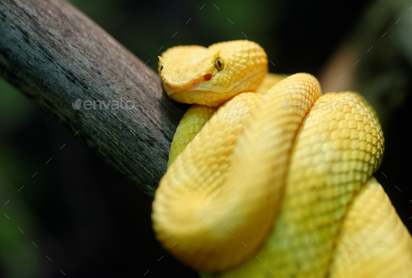 Yellow eyelash viper - Stock Photo - Images