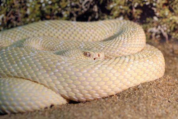 White western diamondback rattlesnake - Stock Photo - Images