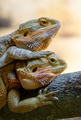 Couple of bearded dragons - PhotoDune Item for Sale