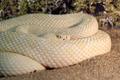 White western diamondback rattlesnake - PhotoDune Item for Sale