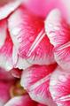 Raindrops on pink tulip petals - PhotoDune Item for Sale