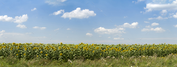 sunflowers field - Stock Photo - Images