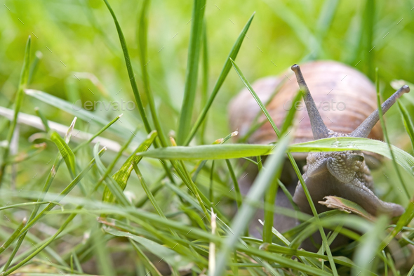 snail crawling - Stock Photo - Images