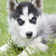 siberian husky puppy - PhotoDune Item for Sale