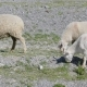 Group of Sheep Gazing, Walking and Resting on a Green Pasture in Altai Mountains. Siberia, Russia - VideoHive Item for Sale