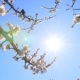 Springtime Blooming. Apricot Flowers Illuminating By Warm Sun Beams. - VideoHive Item for Sale