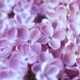Blooming Lilac Flower . Camera Moving Along the Beauty Fragrant Tiny Lilac Flowers with a Shallow - VideoHive Item for Sale