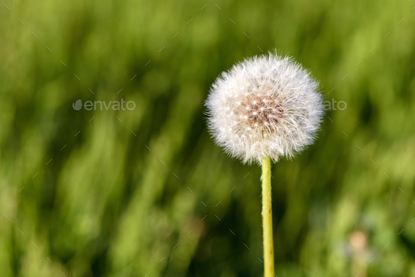 Seed head of dandelion flower - Stock Photo - Images