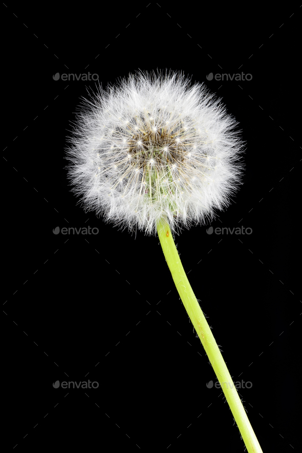 Dandelion on black background - Stock Photo - Images