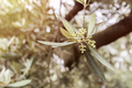 Detail of a branch of olive tree in flowering during spring, Andalusia, Spain - PhotoDune Item for Sale