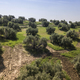 Olive tree from the picual variety near Jaen, Spain - PhotoDune Item for Sale