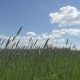 The Strong Wind Inclines Timothy-grass Phleum Pratense in Field To Summer Sunny Day - VideoHive Item for Sale