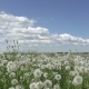 White Dandelion Field in Summer Sunny Day Against the Background of the Sky with White Clouds - VideoHive Item for Sale