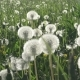 White Dandelion Field in Summer Sunny Day Against the Background of the Sky with White Clouds Walk - VideoHive Item for Sale