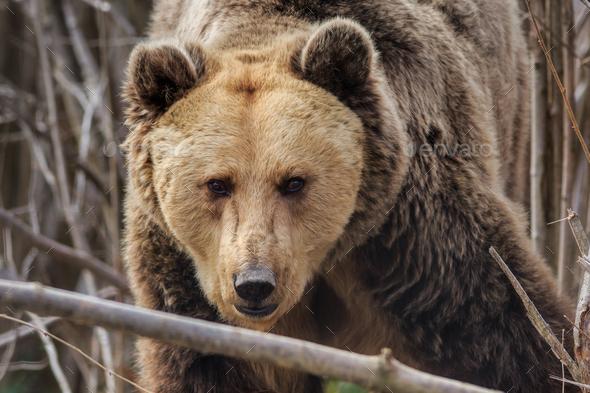 Eurasian brown bear, Romania - Stock Photo - Images