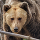 Eurasian brown bear, Romania - PhotoDune Item for Sale